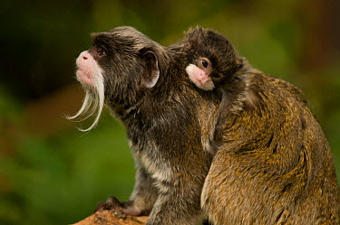 Emperor Tamarin (Saguinus imperator) mother with baby Captive Endemic to Peru  -  Mark Bowler/ npl