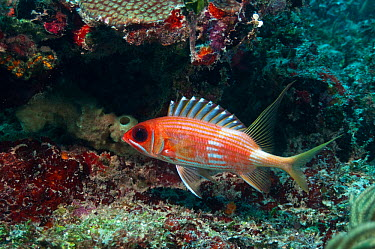 Longspine Squirrelfish (Holocentrus rufus) Xcalac Marine Reserve, South Yucatan Peninsula, Mexico  -  Pete Oxford/ npl