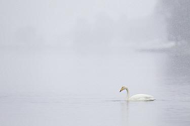 Whooper swan (Cygnus cygnus) on water during snow storm, Loch Insh, Cairngorms NP, Highlands, Scotland, UK, March 2011  -  Peter Cairns/ 2020V/ npl