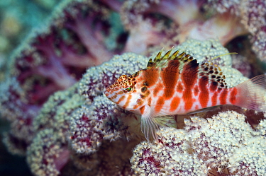 Spotted, Threadfin Hawkfish (Cirrhitychthys aprinus) with soft coral Rinca, Komodo National Park, Indonesia  -  Georgette Douwma/ npl