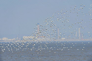 Flock of Avocet (Recurvirostra avosetta) in flight with Coryton Oil refinery in background, Site of new DP World London Gateway container port, River Thames, Essex, UK, March 2011  -  Terry Whittaker/ 2020V/ npl