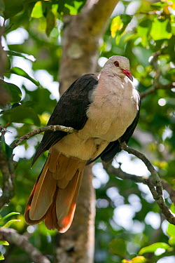 Pink Pigeon (Nesoenas, Columba mayeri) perched in trees near the research station in the Black River Gorges National Park, Mauritius  -  Brent Stephenson/ npl