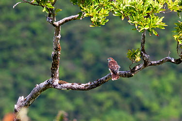 Mauritius kestrel (Falco punctatus) perched in a tree within the Black River Gorges National Park, Mauritius  -  Brent Stephenson/ npl