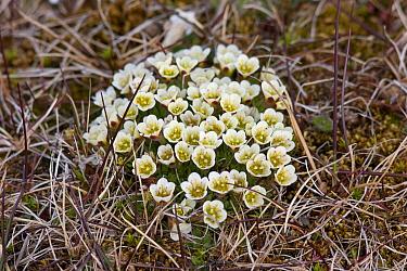 Tufted Saxifrage (Saxifraga cespitosa) in flower Bamsebu, Bellsund, Svalbard, July  -  Brent Stephenson/ npl