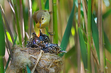 Reed warbler (Acrocephalus scirpaceus) feeding 12 day chick of European cuckoo (Cuculus canorus) in its nest, East Anglian Fens, Norfolk, May  -  David Tipling/ 2020V/ npl