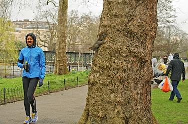 Grey Squirrel (Sciurus carolinensis) on tree trunk beside visitors in parkland, woman jogging, Regent's Park, London, UK, February 2011  -  Terry Whittaker/ 2020V/ npl