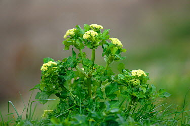Alexanders (Smyrnium) in flower Portland, Dorset, UK, March  -  Colin Varndell/ npl