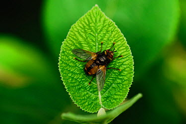 Adult Common Rufous Parasitic Fly (Tachina fera) at rest on wayfaring tree leaf Dorset, UK, August  -  Colin Varndell/ npl