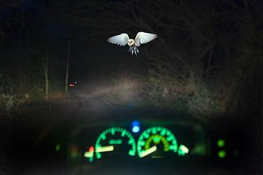 Barn owl (Tyto alba) in flight, viewed through car windscreen at night, Norfolk, UK  -  Ernie Janes/ npl