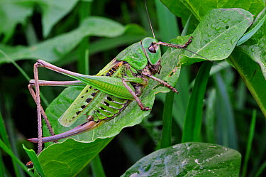 Wartbiter, Wart biter bush cricket (Decticus verrucivorus) Dolomites, Italy, July  -  Philippe Clement/ npl