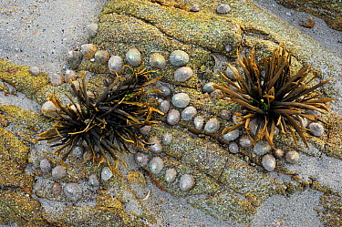 Channelled, Channel wrack (Pelvetia canaliculata) and Limpets (Patella sp) on rock exposed at low tide Brittany, France, September  -  Philippe Clement/ npl