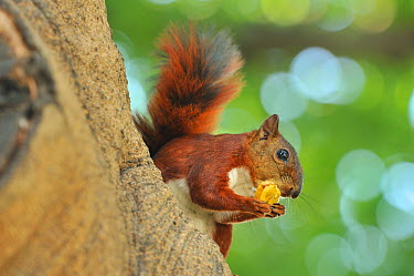 Red-tailed Squirrel (Sciurus granatensis) eating a seed on a tree trunk in Parque Centenario of Cartagena de Indias Bolivar Department, Northen Colombia  -  Luiz Claudio Marigo/ npl