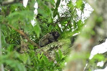 Black-tufted-ear Marmoset (Callithrix penicillata) carrying baby on back Ibitipoca State Park, Minas Gerais State, municipality of Lima Duarte, Southeastern Brazil, March  -  Luiz Claudio Marigo/ npl