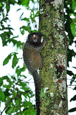 Black-tufted-ear Marmoset (Callithrix penicillata) in Cerrado habitat Ibitipoca State Park Minas Gerais State, municipality of Lima Duarte, Southeastern Brazil, March  -  Luiz Claudio Marigo/ npl