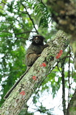 Black-tufted-ear Marmoset (Callithrix penicillata) in Cerrado habitat of Ibitipoca State Park Minas Gerais State, municipality of Lima Duarte, Southeastern Brazil, March  -  Luiz Claudio Marigo/ npl