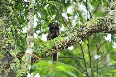 Black-tufted-ear Marmoset (Callithrix penicillata) in Cerrado habitat, Ibitipoca State Park Minas Gerais State, municipality of Lima Duarte, Southeastern Brazil, March  -  Luiz Claudio Marigo/ npl