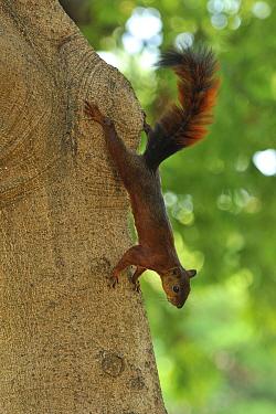 Red-tailed Squirrel (Sciurus granatensis) climbing down trunk Tayrona Natural National Park, municipality of Santa Marta, Magdalena Department, Northern Colombia  -  Luiz Claudio Marigo/ npl