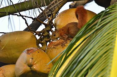 Red-tailed Squirrel (Sciurus granatensis) eating coconut in a Coconut palm (Cocos nucifera) tree Municipality of Santa Marta, Magdalena Department, Northern Colombia  -  Luiz Claudio Marigo/ npl