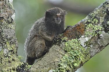 Young Black-tufted-ear Marmoset (Callithrix penicillata) on a lichen-covererd branch Ibitipoca State Park, Minas Gerais State, municipality of Lima Duarte, Southeastern Brazil  -  Luiz Claudio Marigo/ npl