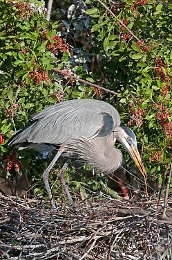 Great Blue Heron (Ardea herodias) arranging twigs on nest Venice Rookery, Florida, USA, January  -  Adrian Davies/ npl