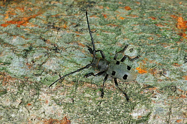Longhorn Beetle (Morimus funereus) North of Grebastica, Sibenik Split road, Croatia, May  -  Robert Thompson/ npl