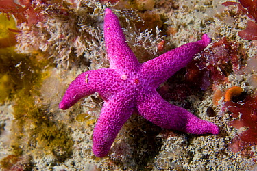 Bloody Henry Starfish (Henricia oculata) Channel Islands, UK, June  -  Sue Daly/ npl