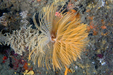 Sprial Worm, Feather Duster Worm (Sabella spallanzanii) Channel Islands, UK, August  -  Sue Daly/ npl
