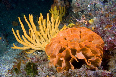 Potato Crisp Bryozoan (Pentapora foliacea) and Staghorn Sponge (Axinella dissimilis) Channel Islands, UK, July  -  Sue Daly/ npl