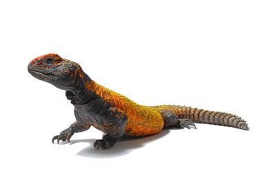 Moroccan spiny-tailed lizard (Uromastix acanthinurus) studio shot, captive, from Morroco  -  Daniel Heuclin/ npl