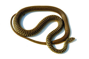 Green, Western whipsnake (Hierophis, Coluber viridiflavus) Poitou, France, controlled conditions  -  Daniel Heuclin/ npl