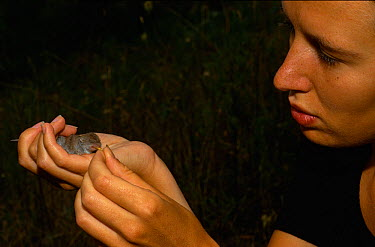 Scientist feeding a recently captured Greater white toothed shrew (Crocidura russula) Aude, France  -  Daniel Heuclin/ npl