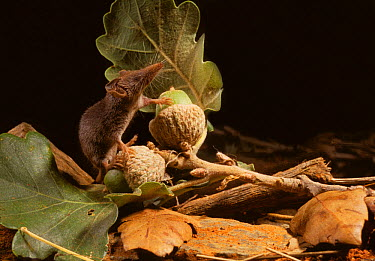 White-toothed pygmy, Etruscan shrew (Suncus etruscus) on acorns, Aude, France, controlled conditions, The smallest known mammal (weighing about 2g)  -  Daniel Heuclin/ npl