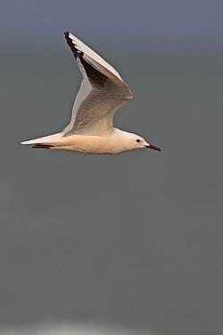 Slender Billed Gull (Larus genei) in flight Gambia, Africa, February  -  Robin Chittenden/ npl