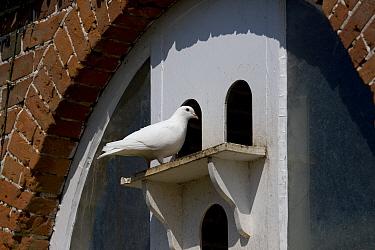 White Fantail pigeon (Columba sp)at dovecot, Norfolk, UK  -  Ernie Janes/ npl
