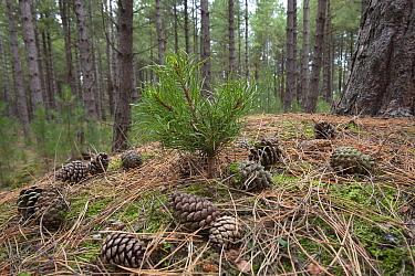 Corsican Pine seedling (Pinus nigra var maritima) growing amongst pine trees and cones in coastal pine woodland, Norfolk, UK  -  Ernie Janes/ npl