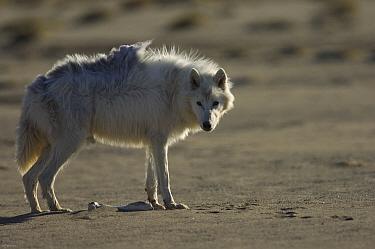 Adult Arctic wolf (Canis lupus) Ellesmere Island, Nunavut, Canada, June 2008  -  Jeff Wilson/ npl