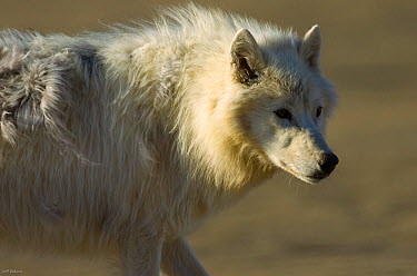 Adult Arctic wolf (Canis lupus) Ellesmere Island, Nunavut, Canada, June 2008 Taken on location for BBC series, Frozen Planet, Summer  -  Jeff Wilson/ npl