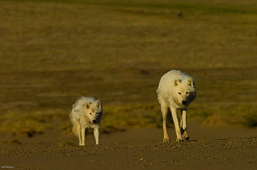 Two adult Arctic wolves (Canis lupus) on tundra, Ellesmere Island, Nunavut, Canada, June 2008 Taken on location for BBC series, Frozen Planet, Summer  -  Jeff Wilson/ npl