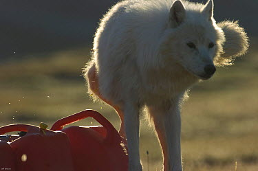 Wild Arctic wolf (Canis lupus) marking fuel containers in camp during filming of Frozen Planet, Ellesmere Island, Nunavut, Canada, June 2008, Taken on location for the BBC series, Frozen Planet  -  Jeff Wilson/ npl