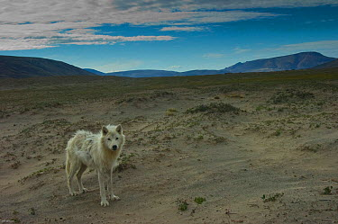 Adult Arctic wolf (Canis lupus) in tundra landscape, Ellesmere Island, Nunavut, Canada, June 2008, Taken on location for the BBC series, Frozen Planet  -  Jeff Wilson/ npl