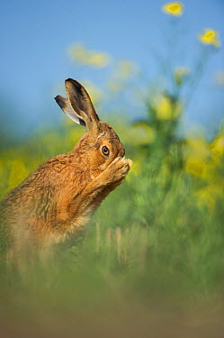 European brown hare (Lepus europaeus) adult grooming beside field of rapeseed, Hope Farm RSPB reserve, Cambridgeshire, UK, May  -  Andrew Parkinson/ 2020V/ npl