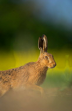 European brown hare (Lepus europaeus) adult emerging from field of rapeseed, Hope Farm RSPB reserve, Cambridgeshire, UK, May  -  Andrew Parkinson/ 2020V/ npl