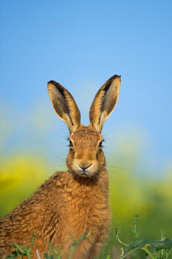 European brown hare (Lepus europaeus) adult portrait near field of rapeseed, Hope Farm RSPB reserve, Cambridgeshire, UK, May  -  Andrew Parkinson/ 2020V/ npl