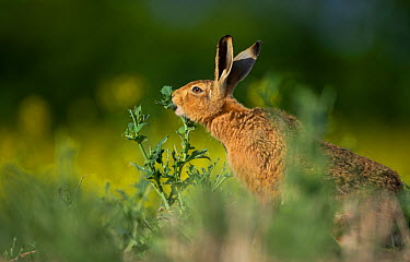 European brown hare (Lepus europaeus) adult feeding on fringes of rapeseed field, Hope Farm RSPB reserve, Cambridgeshire, UK, May  -  Andrew Parkinson/ 2020V/ npl