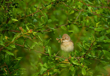 Whitethroat (Sylvia communis) adult perched in Blackthorn hedgerow with insect prey for young, Hope Farm RSPB reserve, Cambridgeshire, UK, May  -  Andrew Parkinson/ 2020V/ npl