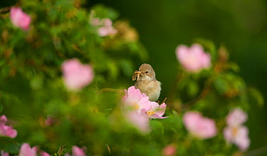 Whitethroat (Sylvia communis) adult perched with insect prey on hedgerow amongst Dog rose (Rosa canina) flowers, Hope Farm RSPB reserve, Cambridgeshire, UK, May  -  Andrew Parkinson/ 2020V/ npl