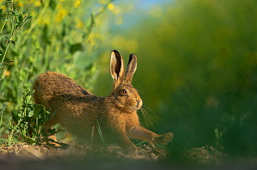 European brown hare (Lepus europaeus) adult stretching on fringes of a field of rapeseed Hope Farm RSPB reserve, Cambridgeshire, UK, May, sequence 1, 4  -  Andrew Parkinson/ 2020V/ npl