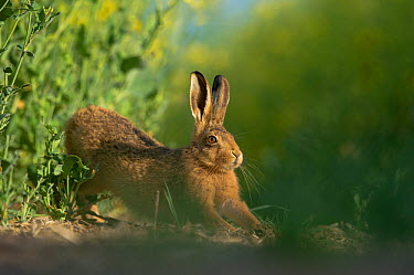 European brown hare (Lepus europaeus) adult stretching on fringes of a field of rapeseed Hope Farm RSPB reserve, Cambridgeshire, UK, May, sequence 2, 4  -  Andrew Parkinson/ 2020V/ npl