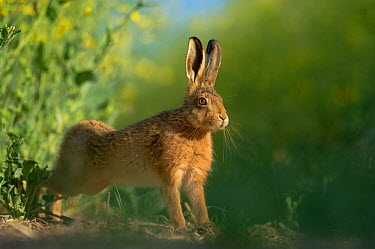 European brown hare (Lepus europaeus) adult stretching on fringes of a field of rapeseed Hope Farm RSPB reserve, Cambridgeshire, UK, May, sequence 3, 4  -  Andrew Parkinson/ 2020V/ npl