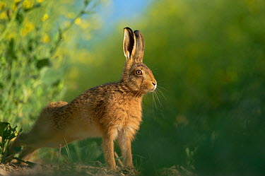 European brown hare (Lepus europaeus) adult stretching on fringes of a field of rapeseed Hope Farm RSPB reserve, Cambridgeshire, UK, May, sequence 4, 4  -  Andrew Parkinson/ 2020V/ npl